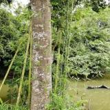 自提56年老榆树