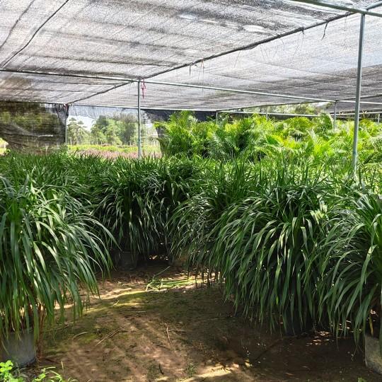 福建龙血树龙树高1.2米