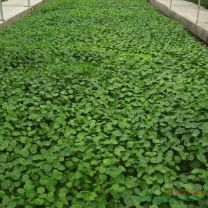 中华天胡荽铜钱草高10公分袋苗价格1.1元