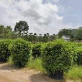 福建非洲茉莉球高1.5米
