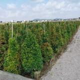 福建红车红枝蒲桃高1.5米
