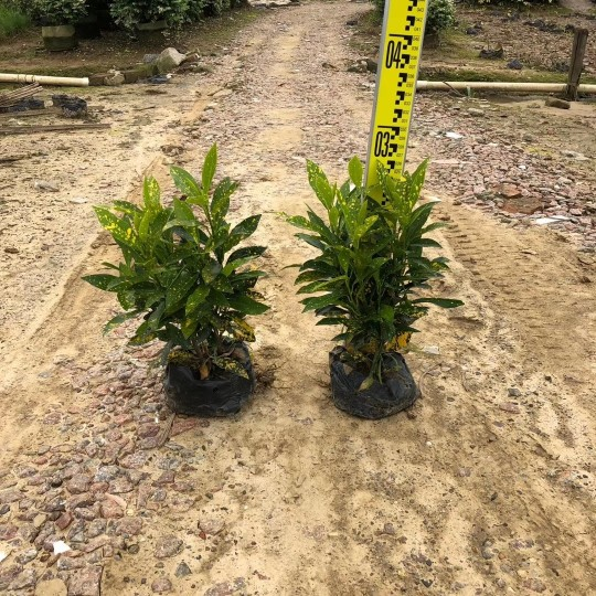 福建黄点变叶木高30公分