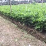 春羽蔓绿绒70公分高盆苗价格8元