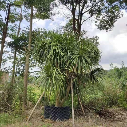 福建龙血树2.5米高