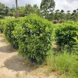 福建1.5米高非洲茉莉