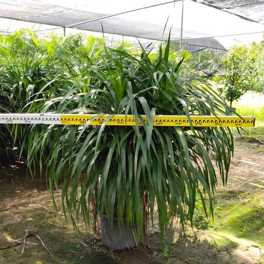 福建1.2米高龙血树