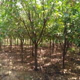 海棠风景树