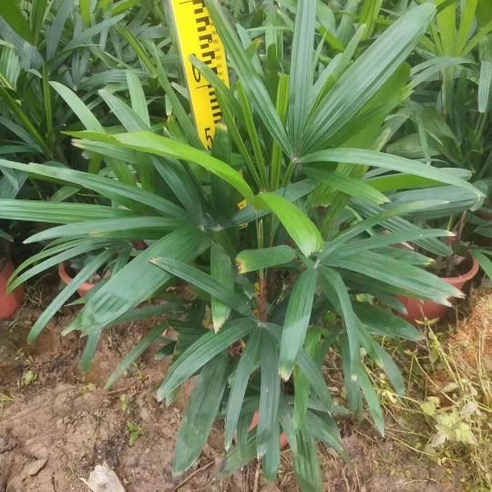 棕竹观音竹高60公分盆苗价格18元