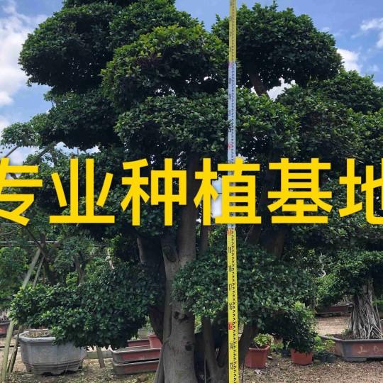 福建小叶榕