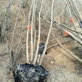 7米丛生刺槐
