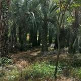 高1米布迪椰子价格220元