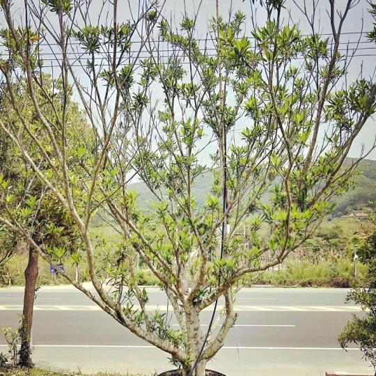 8公分水石榕移植苗价格280元