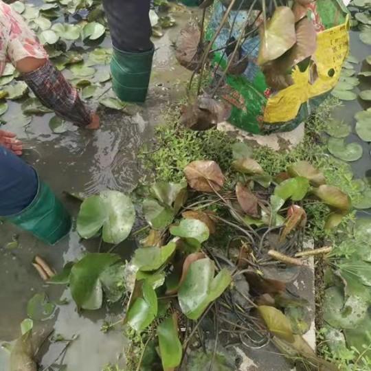 睡莲水生植物高50公分盆苗价格9元