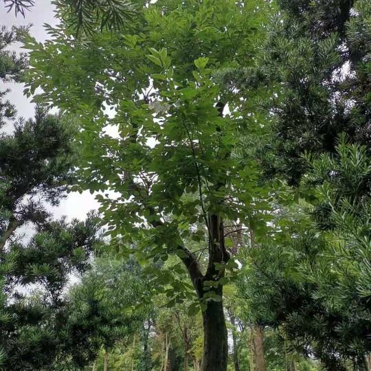 35公分柿子树移栽苗