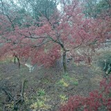 日本红枫红舞姬