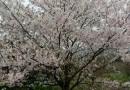 染井吉野樱花