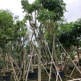 10公分腊肠树移植苗价格600元 腊肠树移植苗基地批发