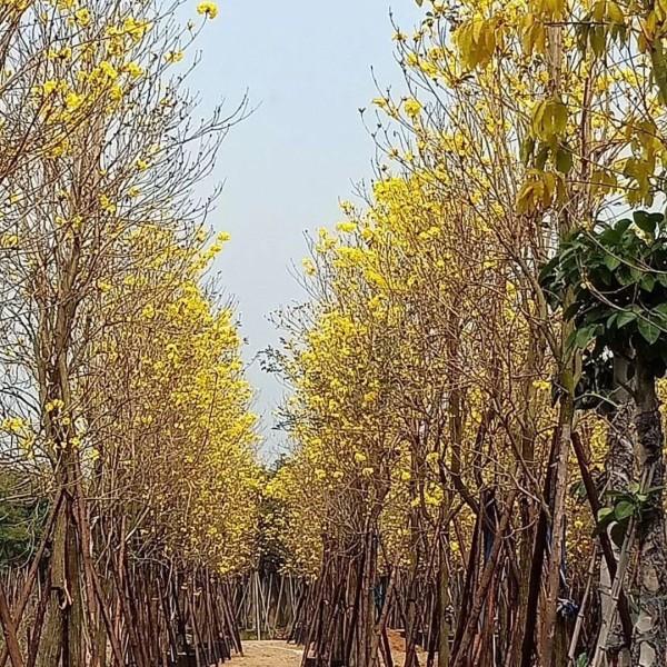 黄花风铃木|袋苗大量批发