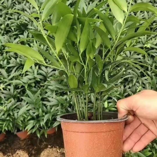 高25公分竹柏盆苗价格5.5元