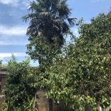 20年棕树