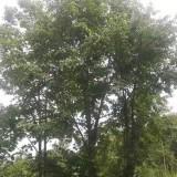 20公分椴树