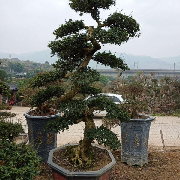 福建茶盆景