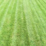 冷季型草坪早熟禾