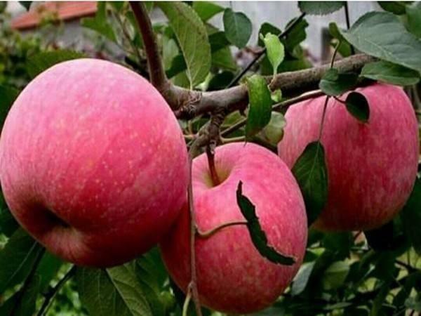 鲁丽苹果苗