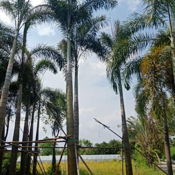 狐尾椰子批发报价 狐尾椰子多少钱一棵