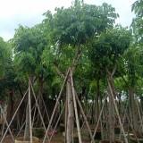 腊肠树价格 福建腊肠树(阿孛勒)多少钱一棵