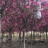 光辉海棠价格 绿化风景树 海棠苗木基地