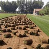 常年供应冷季型早熟禾草坪,早熟禾高羊矛混播草坪
