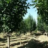地径3公分八棱海棠树价格,河北八棱海棠基地