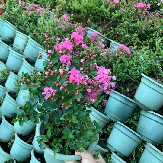 冠幅30公分高度30公分百丽矮紫薇 福建百丽矮紫薇基地