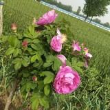 出售可食用玫瑰。