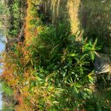 80公分高红枝蒲桃出售 福建红枝蒲桃基地直销