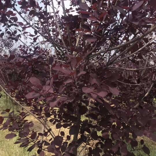 地径1-8公分分枝点80-100公分美国红栌行情