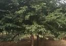 中国红山樱花 福建山樱花 4-7公分福建山樱花