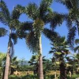7米高海南狐尾椰子批发价 海南狐尾椰子基地直销