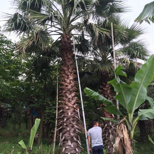 6米高华棕价格 福建华盛顿棕榈老人葵(华棕)基地