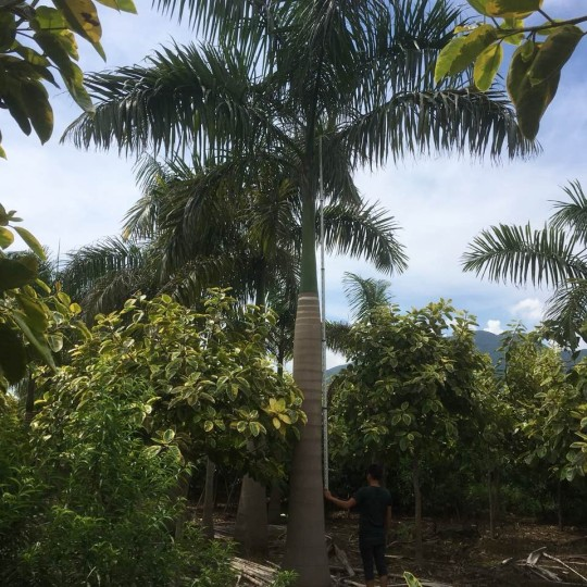 8米高大王椰子报价 基地直销的大王椰子哪里有卖的