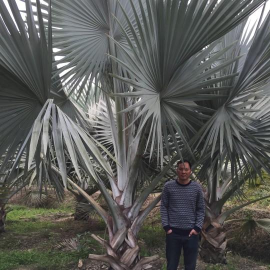 4米高霸王棕基地直销 福建霸王棕种植基地