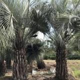 5米高河南布迪椰子价格 北方布迪椰子基地直销