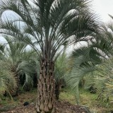 4.5米高布迪椰子基地批发价 布迪椰子的最新市场行情