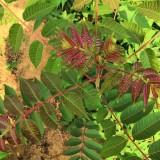 地径0.4-3公分红油香椿价格 红油香椿哪里买