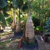 酒瓶椰子批发价格 福建酒瓶椰子多少钱一棵
