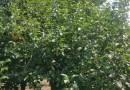 20cm八棱海棠树