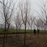7公分流苏树价格 江苏7公分流苏树多少钱一棵
