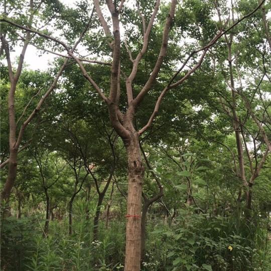 江苏12公分乌桕树多少钱一棵