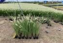 小兔子狼尾草 各种观赏草 网红草 桂丽园艺专业种植